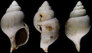 Atractodon elegans Westerschelde