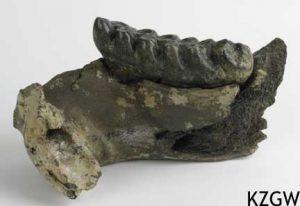 Anancus arvernensis, onderkaakskies van een mastodont.